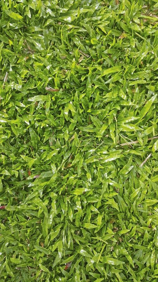 Трава Baffalo стоковое фото