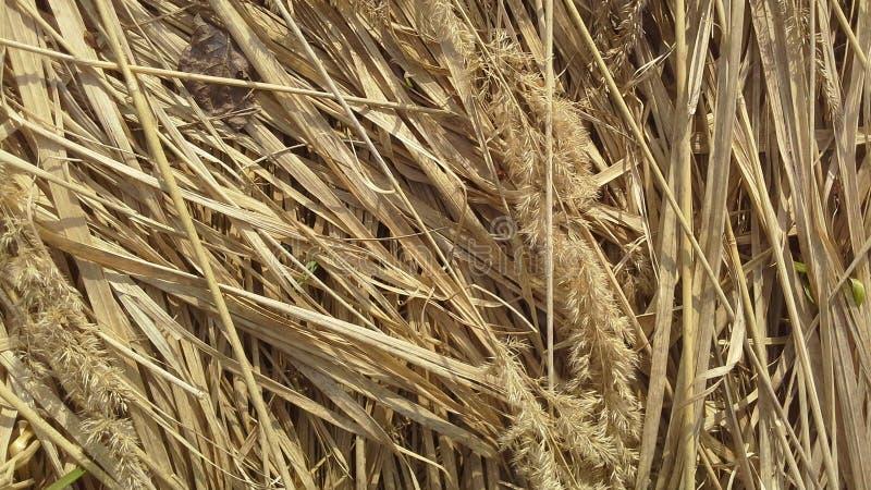 Трава Dru, сено, солома, pring, теплый, весеннее время, цвет стоковая фотография rf