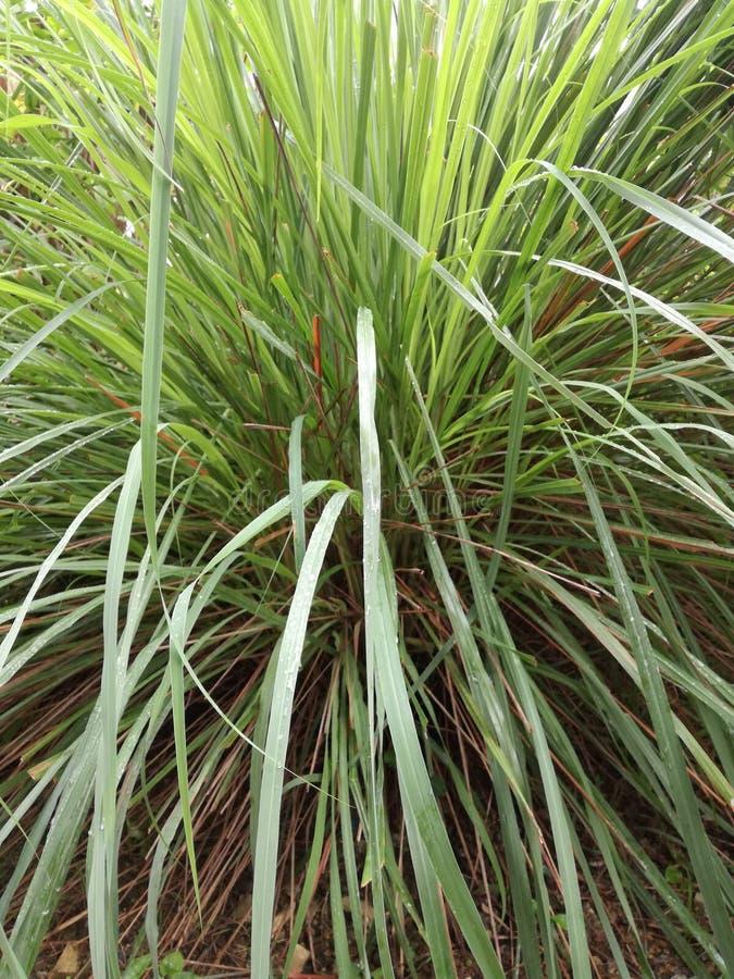 Трава Limegrass стоковое фото rf