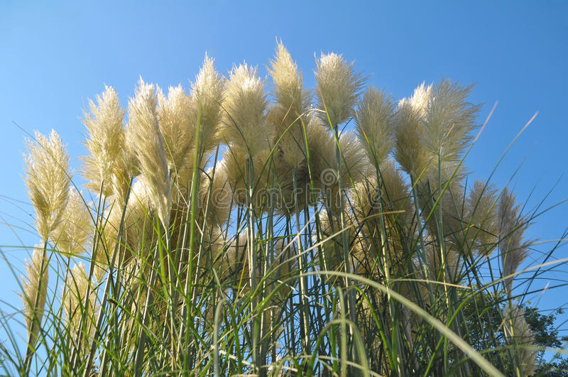 трава pampas