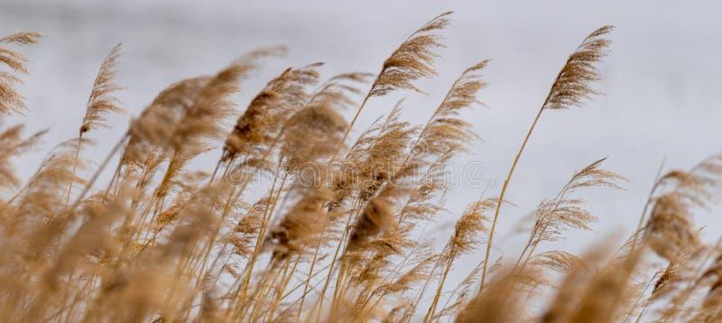 Трава Reed в цветени, научном тростнике имени australis, нарочито запачканный, нежно пошатывающ в ветре на береге пруда стоковая фотография