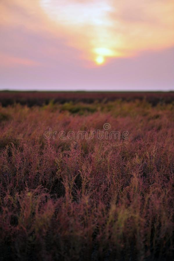 Трава Suaeda красного пляжа стоковая фотография
