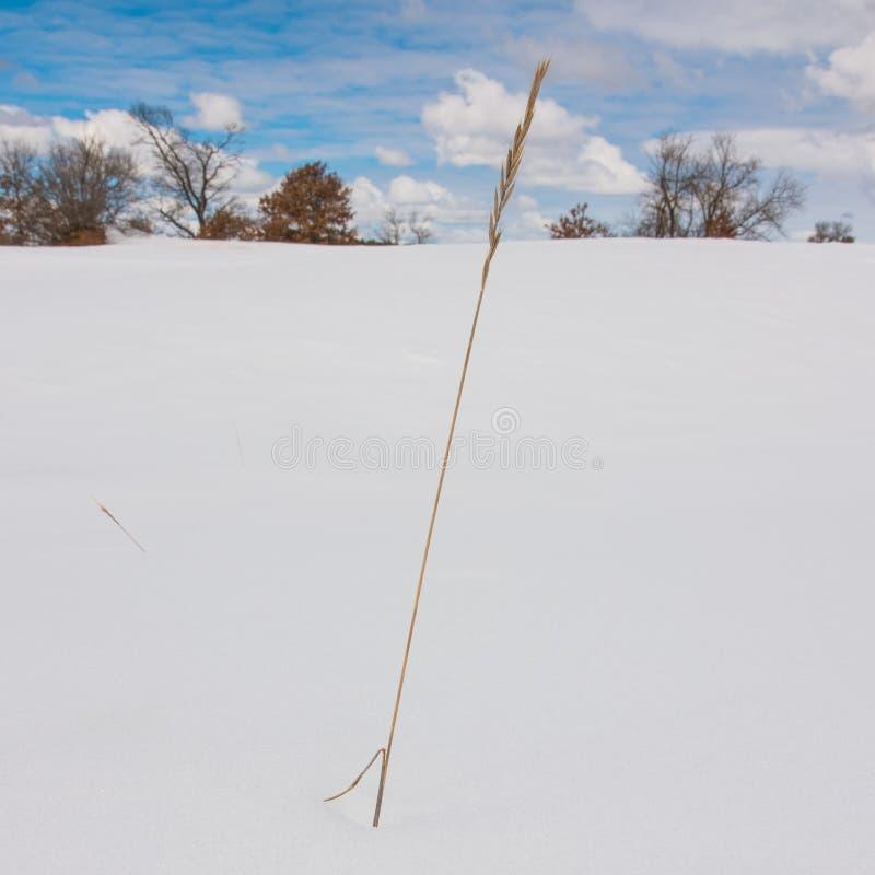 Травинка засовывая из обширного снежного ландшафта с деревьями, голубыми небесами, и тучными белыми облаками на заднем плане - хо стоковые изображения