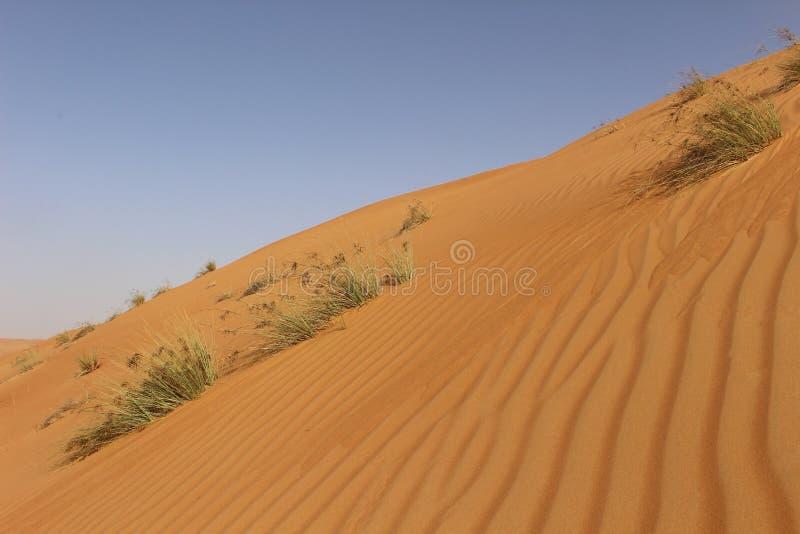 Травы в дюнах пустыни песков Wahiba в Омане стоковые изображения