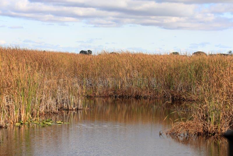 Травы и тростники болота отразили в бассейне стоковое изображение