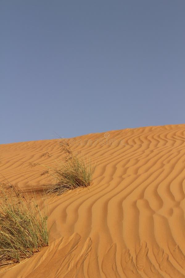 Травы между пульсациями песка в песках Wahiba, Омане стоковые фото