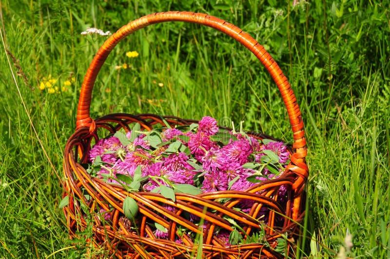 Травы сбора Используют для того чтобы сделать красный клевер обыкновенно сладостн-дегустацией травяной чай стоковая фотография rf