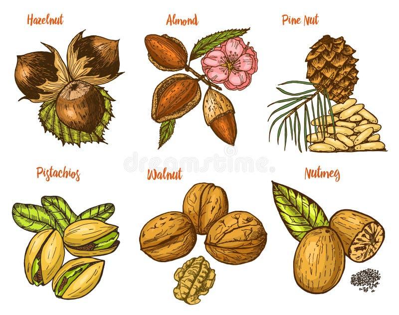 Травы, condiments и специи миндалина и грецкий орех, гайка сосны и фундук, семена для меню Органические заводы или вегетарианец иллюстрация штока