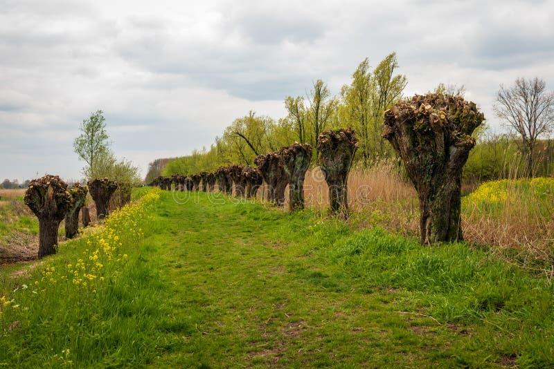 Травянистая проселочная дорога среди верб Полларда стоковые фотографии rf