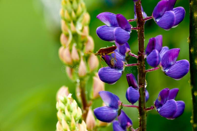 Травянистое поле с фиолетовой съемкой тележки Lupines стоковое фото rf