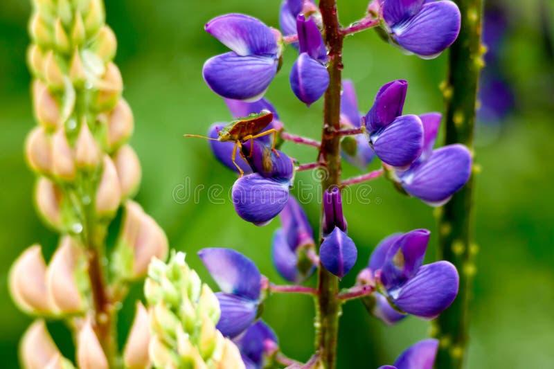 Травянистое поле с фиолетовой съемкой тележки Lupines стоковые фотографии rf