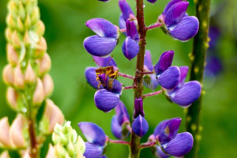 Травянистое поле с фиолетовой съемкой тележки Lupines стоковая фотография