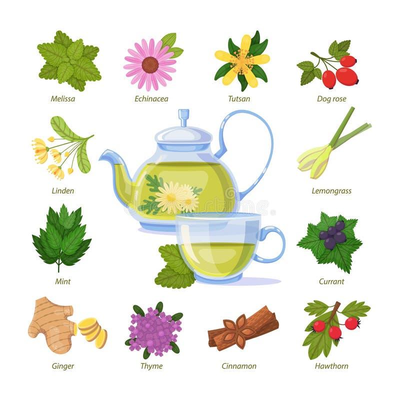 Травяной зеленый чай чашка Здоровое лекарственное растение иллюстрация штока