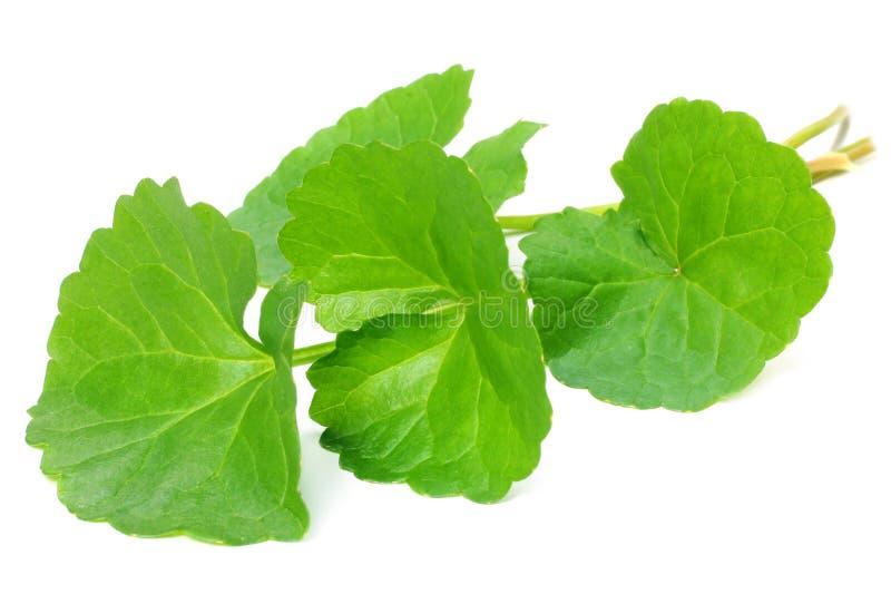 Травяные целебные листья Thankuni стоковое фото rf