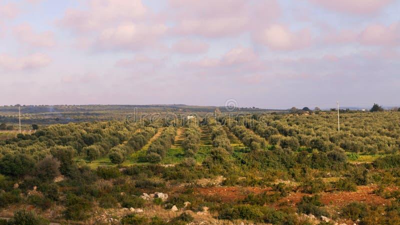 Традиционная красивая плантация оливковых дерев в Salento, regione Апулии, Италии, над взглядом, заход солнца стоковое изображение rf