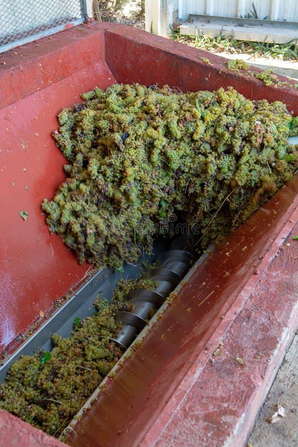 Традиционное виноделие во Франции, новый сбор муската белой виноградины готово для сперва отжимать стоковая фотография