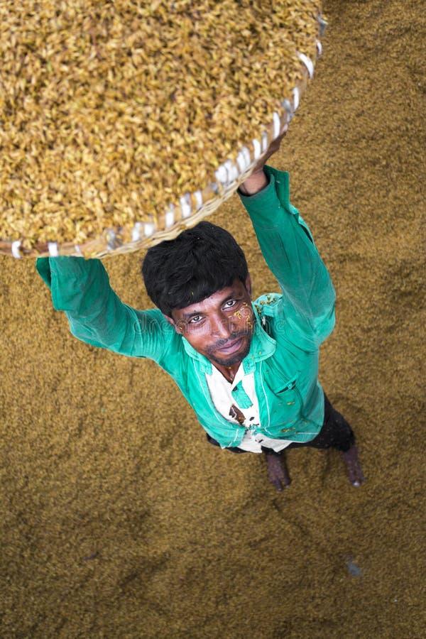 Традиционный работник мельницы риса кантует пади для сушить стоковое изображение rf