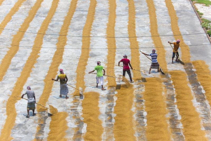 Традиционный работник мельницы риса кантует пади для сушить стоковые изображения