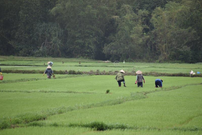 Традиционный работник на зеленом рисе fields в Hoi в Вьетнаме, Азии стоковое изображение