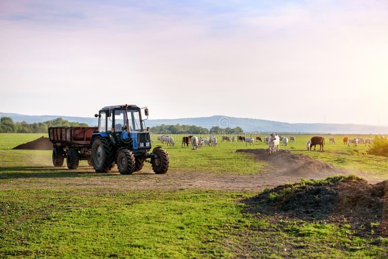 Трактор и коровы на ферме стоковое изображение