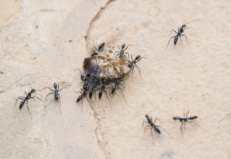 транспортировать таракана муравеев стоковые фото