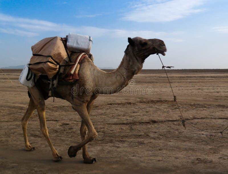 Транспорт верблюда слябов соли, озера Karum, Danakil Afar Эфиопии стоковая фотография rf