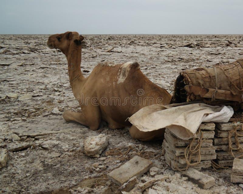 Транспорт верблюда слябов соли, озера Karum, Danakil, Afar Эфиопии стоковая фотография