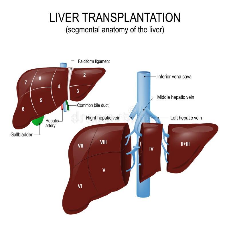 Трансплантация печени сегментообразная анатомия печени иллюстрация вектора