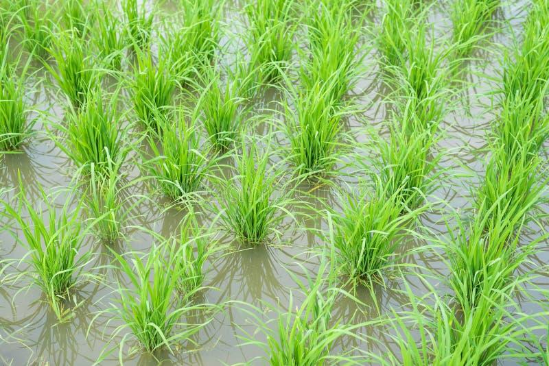 Трансплантированные поля риса стоковые изображения