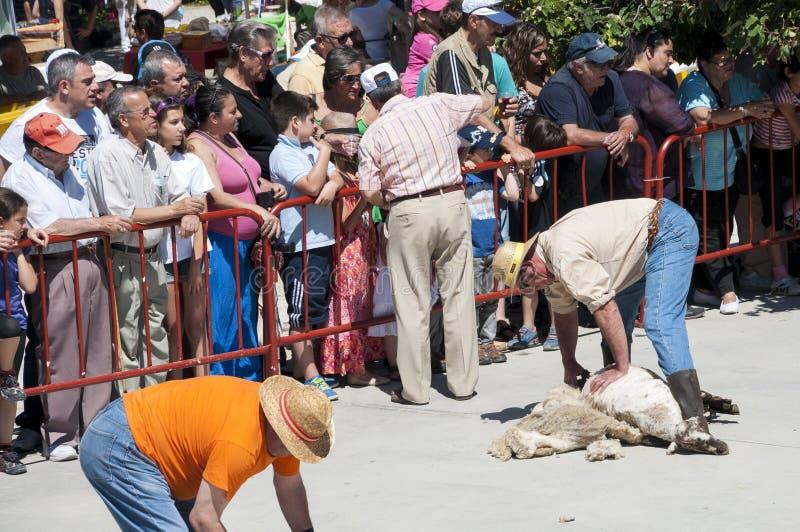 Традиционные режа овцы стоковые фотографии rf