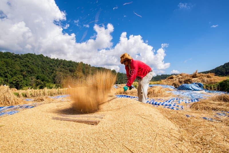 Традиционный путь молотить зерна в северной Таиланда стоковое фото rf