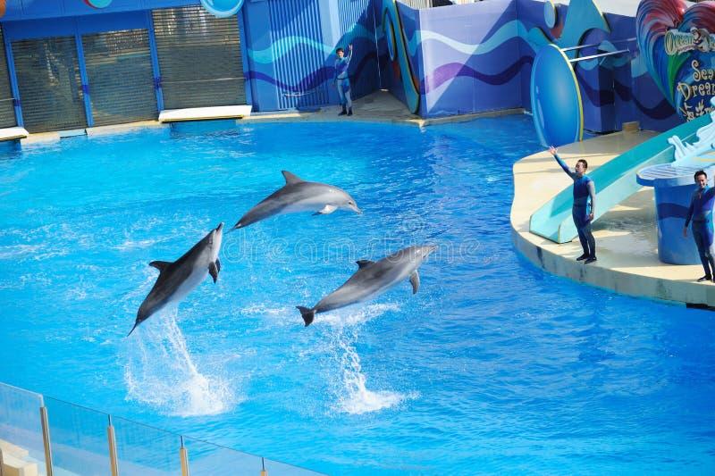 тренер дельфина выполняя стоковые изображения rf