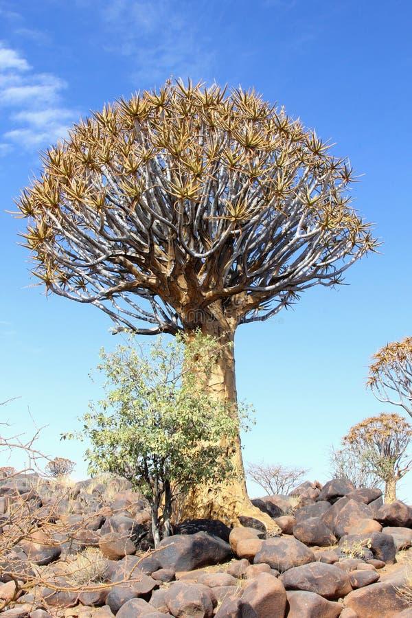 Трепещите небо dichotoma алоэ дерева голубое, Намибия стоковые изображения rf