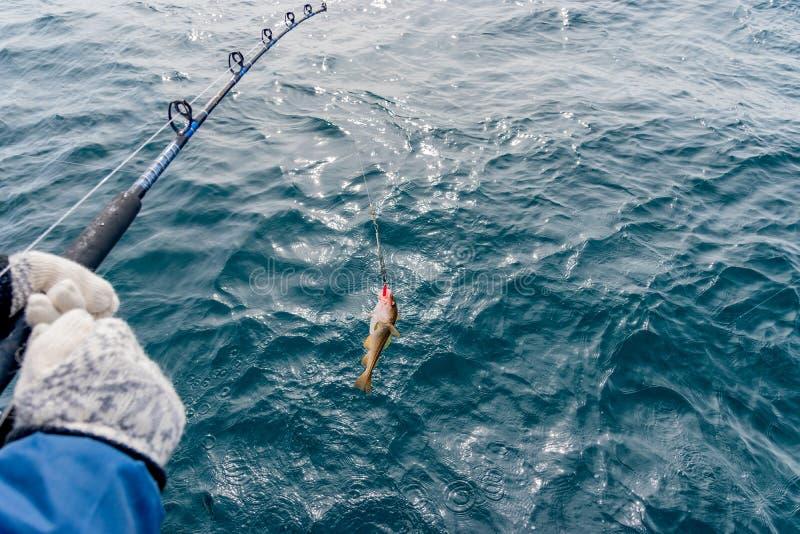Треска во время прогулки на яхте, Исландия рыбной ловли стоковые изображения