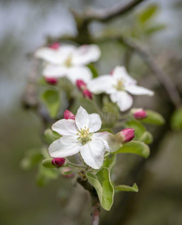 Трио белых цветений Яблока и красных бутонов стоковые изображения rf