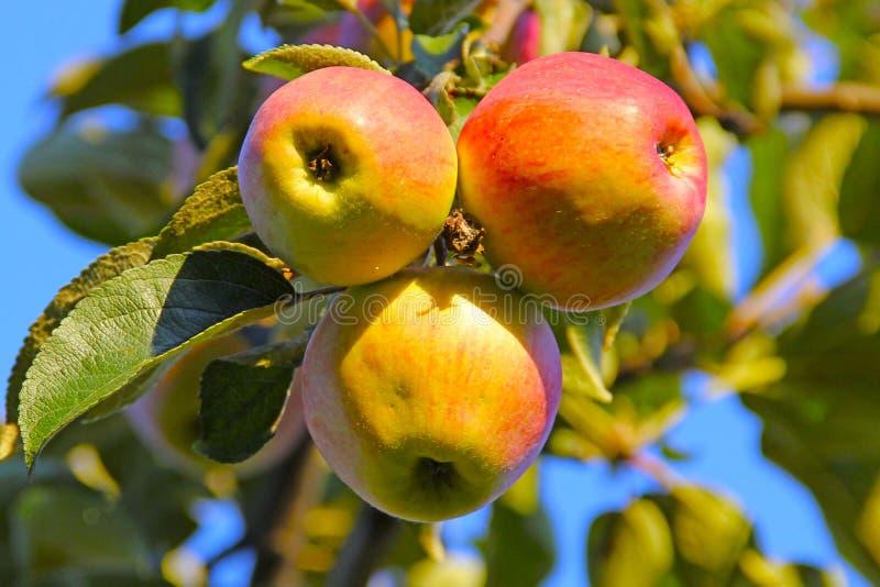 Трио Яблока стоковое фото