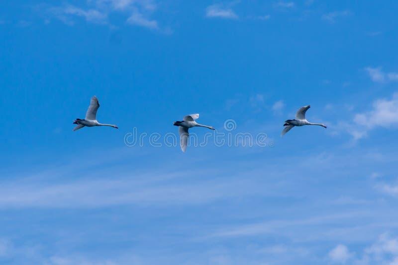 Трио Flyby безгласных лебедей стоковая фотография