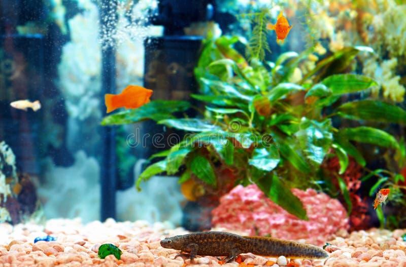 Тритон Echinated в красочном аквариуме, waltl Pleurodeles стоковое изображение rf