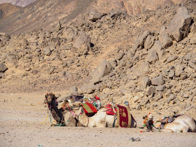 Три верблюда отдыхают возле больших коричневых камней со средним видом Гора в пустыне египтяне Выборочная мягкая фокус Размыто стоковые фото