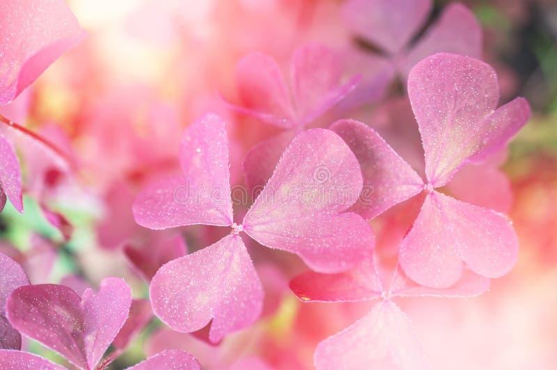 Трилистник детали красивый, розовые заводы солнечно тонизировано предпосылка всходит на борт горизонтальной текстуры узловатой со стоковая фотография rf