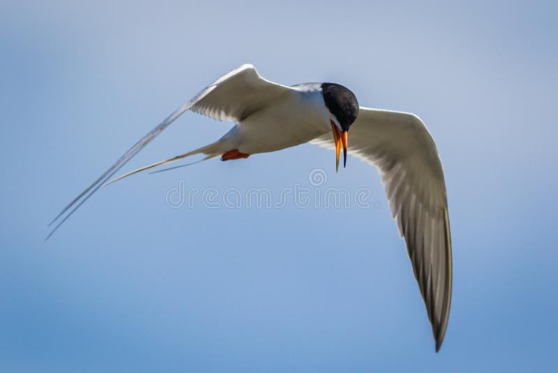 Тройка Forster летает стремительно с подвижностью против яркого голубого неба стоковые изображения rf