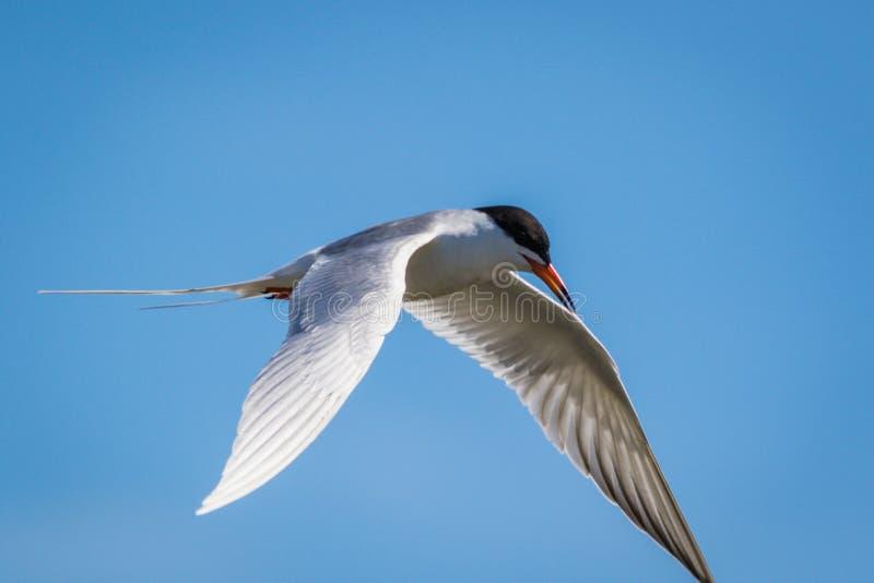 Тройка Forster летает стремительно с подвижностью против яркого голубого неба стоковое фото
