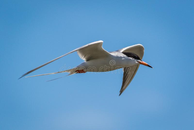 Тройка Forster летает стремительно с подвижностью против яркого голубого неба стоковое изображение