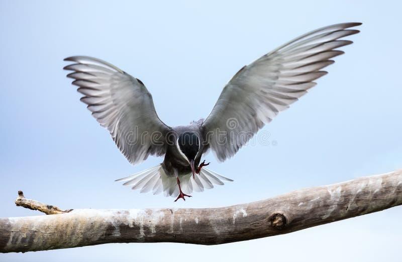 Тройка Whiskered в посадке полета на ветви с распространением крыльев стоковые фотографии rf