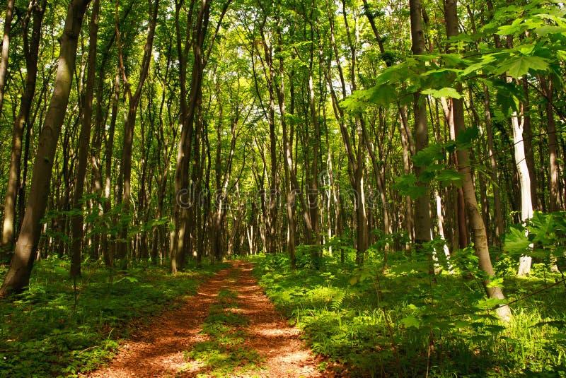 Тропа в зеленых лиственных древесинах среди деревьев, свежесть леса п стоковые фото