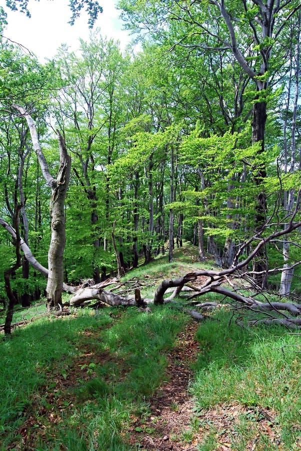 Тропа с ветвью дерева через весной лиственный лес стоковое фото
