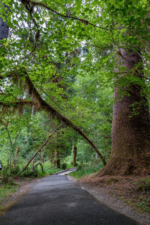Тропа с деревьями и мостом дождевого леса Hoh стоковые фото