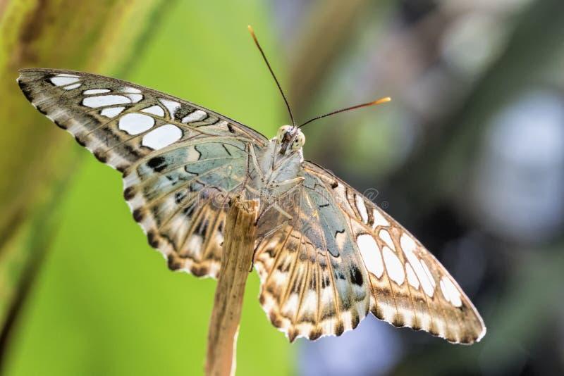 Тропическая бабочка (Parthenos sylvia) стоковые изображения