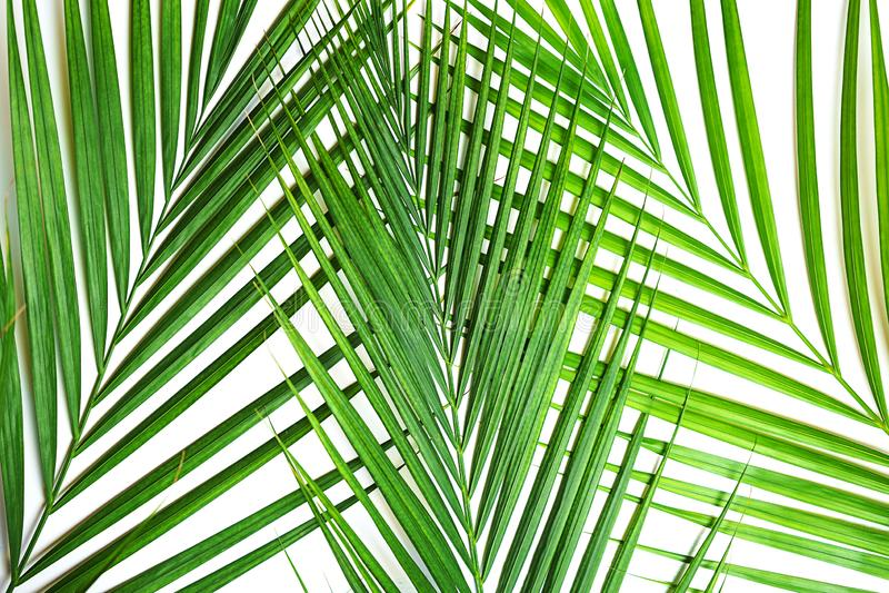 Тропическая зеленая ладонь выходит на белую предпосылку изолировано стоковые изображения rf