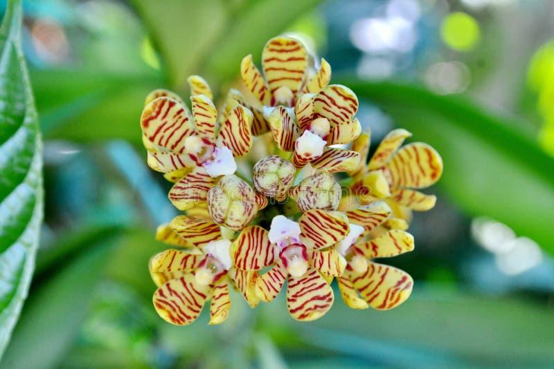 Тропическая одичалая орхидея стоковые фото